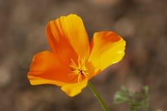 Παπαρούνα Καλιφόρνιας στοκ φωτογραφίες με δικαίωμα ελεύθερης χρήσης