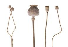 Παπαρούνα-κεφάλια Στοκ Φωτογραφίες
