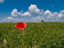 παπαρούνα λουλουδιών π&epsil στοκ εικόνα