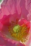 παπαρούνα λουλουδιών στοκ εικόνα