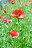 παπαρούνα λουλουδιών Στοκ Φωτογραφία