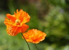 παπαρούνα λουλουδιών Στοκ εικόνα με δικαίωμα ελεύθερης χρήσης