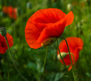 Παπαρούνα λουλουδιών εγκαταστάσεων Στοκ φωτογραφίες με δικαίωμα ελεύθερης χρήσης