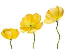 Παπαρούνα που απομονώνεται κίτρινη στο λευκό Στοκ φωτογραφίες με δικαίωμα ελεύθερης χρήσης