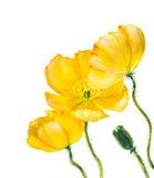 Παπαρούνα που απομονώνεται κίτρινη στο λευκό Στοκ Φωτογραφίες