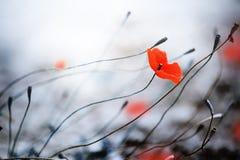 παπαρούνα Στοκ φωτογραφία με δικαίωμα ελεύθερης χρήσης