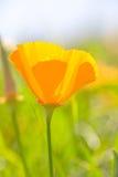 παπαρούνα eschscholzia californica Καλιφόρνια Στοκ φωτογραφία με δικαίωμα ελεύθερης χρήσης