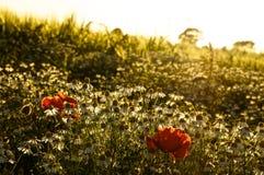Παπαρούνες ηλιοβασιλέματος Στοκ Εικόνες