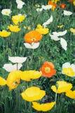 Παπαρούνες κήπων Στοκ Εικόνες