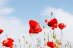 Παπαρούνες και μπλε ουρανός Στοκ φωτογραφία με δικαίωμα ελεύθερης χρήσης