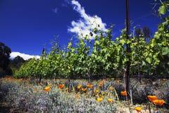 Παπαρούνες και σταφύλια Καλιφόρνιας στην άνοιξη, δρύινη άποψη Καλιφόρνια vinyard, ΗΠΑ Στοκ εικόνες με δικαίωμα ελεύθερης χρήσης