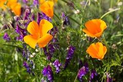 Παπαρούνες Καλιφόρνιας σε έναν τομέα με τα πορφυρά λουλούδια Στοκ εικόνες με δικαίωμα ελεύθερης χρήσης