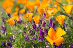 Παπαρούνες Καλιφόρνιας σε έναν τομέα με τα πορφυρά λουλούδια Στοκ Εικόνα