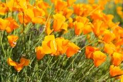 Παπαρούνες Καλιφόρνιας σε έναν τομέα με τα πορφυρά λουλούδια στοκ εικόνα με δικαίωμα ελεύθερης χρήσης