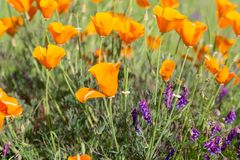Παπαρούνες Καλιφόρνιας σε έναν τομέα με τα πορφυρά λουλούδια στοκ φωτογραφία
