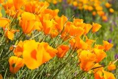 Παπαρούνες Καλιφόρνιας σε έναν τομέα με τα πορφυρά λουλούδια στοκ φωτογραφία με δικαίωμα ελεύθερης χρήσης
