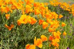 Παπαρούνες Καλιφόρνιας σε έναν τομέα με τα πορφυρά λουλούδια στοκ φωτογραφίες