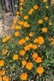 Παπαρούνες Καλιφόρνιας σε Mendocino, Καλιφόρνια Στοκ Φωτογραφία