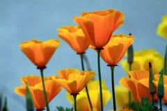 παπαρούνες Καλιφόρνιας Στοκ εικόνα με δικαίωμα ελεύθερης χρήσης
