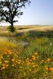 παπαρούνες Καλιφόρνιας στοκ φωτογραφίες
