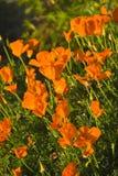 παπαρούνες Καλιφόρνιας Στοκ Εικόνες