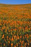 παπαρούνες Καλιφόρνιας Στοκ Φωτογραφία