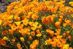 Παπαρούνες Καλιφόρνιας Στοκ φωτογραφία με δικαίωμα ελεύθερης χρήσης
