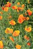 Παπαρούνες Καλιφόρνιας (californica Eschscholzia) στην άνθιση Στοκ Εικόνες