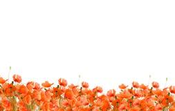 παπαρούνες λιβαδιών Στοκ φωτογραφία με δικαίωμα ελεύθερης χρήσης