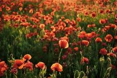 Παπαρούνες, λουλούδια παπαρουνών στοκ εικόνες