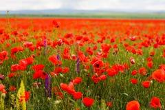 Παπαρούνες που ανθίζουν στην κινηματογράφηση σε πρώτο πλάνο τομέων Λουλούδια στη σύσταση άνθισης στοκ φωτογραφίες με δικαίωμα ελεύθερης χρήσης