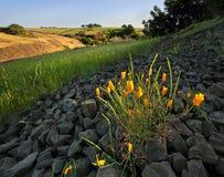 Παπαρούνες που ανθίζουν στη βουνοπλαγιά Καλιφόρνιας Στοκ Εικόνες