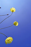 Παπαρούνες που φθάνουν για τον ουρανό Στοκ φωτογραφίες με δικαίωμα ελεύθερης χρήσης