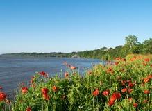 Παπαρούνες στην άνθιση στην ακτή του ποτάμι Μισισιπή Στοκ εικόνα με δικαίωμα ελεύθερης χρήσης