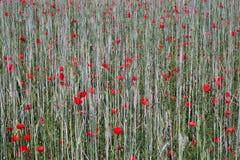 Παπαρούνες χιλιάδων στον τομέα κριθαριού Στοκ Φωτογραφία