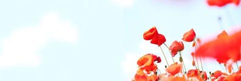 Παπαρούνες Στοκ εικόνα με δικαίωμα ελεύθερης χρήσης