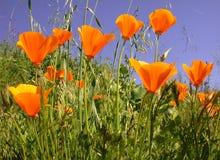 παπαρούνες eschscholzia californica Καλιφόρνιας στοκ εικόνα