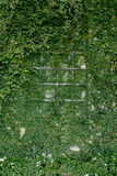 Παράθυρα που γεμίζουν με τα φύλλα κισσών Στοκ εικόνα με δικαίωμα ελεύθερης χρήσης