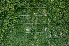 Παράθυρα που γεμίζουν με τα φύλλα κισσών Στοκ Εικόνες