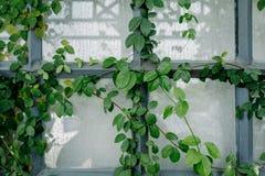 Παράθυρα που γεμίζουν με τα φύλλα κισσών Στοκ εικόνες με δικαίωμα ελεύθερης χρήσης