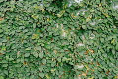 Παράθυρα που γεμίζουν με τα φύλλα κισσών Στοκ φωτογραφία με δικαίωμα ελεύθερης χρήσης