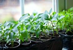 παράθυρο δοχείων φυτών πάπρικας Στοκ Εικόνες