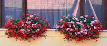 Παράθυρο που πλαισιώνεται με τα φρέσκα λουλούδια Στοκ Εικόνα