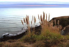 Παράκτια Pampas χλόη Καλιφόρνιας στοκ φωτογραφία