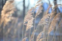 Παράκτιος κάλαμος Phragmites εγκαταστάσεων το χειμώνα Στοκ φωτογραφίες με δικαίωμα ελεύθερης χρήσης