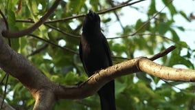 Παράκτιος μαύρος κόρακας σε ένα φυλλώδες δέντρο, ακτή, Ινδία φιλμ μικρού μήκους