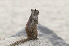 Παράκτιος σκίουρος Στοκ Εικόνα