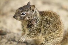 Παράκτιος σκίουρος Στοκ φωτογραφία με δικαίωμα ελεύθερης χρήσης