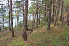 Παράκτιο δάσος, Saaremaa, Εσθονία Στοκ Εικόνα