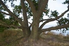 Παράκτιο τοπίο με τους αμμόλοφους δέντρων και άμμου πεύκων, η θάλασσα της Βαλτικής Στοκ φωτογραφία με δικαίωμα ελεύθερης χρήσης